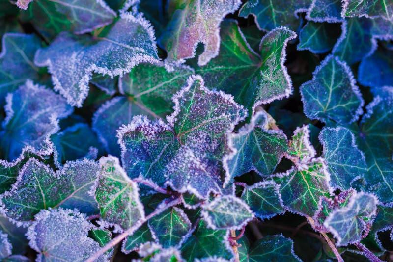 Μακροεντολή - τα παγωμένα φύλλα κισσών, στοκ φωτογραφία