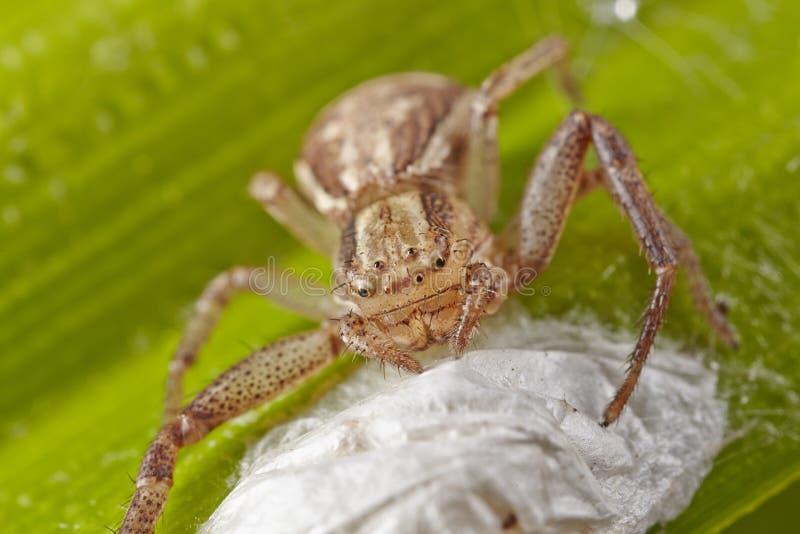 Μακροεντολή της ανοικτό καφέ αράχνης ενός καβουριού με τη σακούλα αυγών ootheca σε ένα πράσινο φύλλο Νέο ξανασχεδιασμένο απελευθέ στοκ φωτογραφία με δικαίωμα ελεύθερης χρήσης