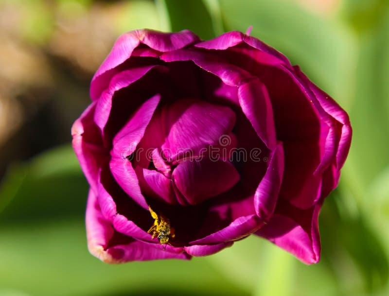 Μακροεντολή της πορφυρής τουλίπας επάνω από την όψη Η μέλισσα επικονιάζει την εσωτερική τουλίπα Έντομο στο λουλούδι στοκ φωτογραφία με δικαίωμα ελεύθερης χρήσης