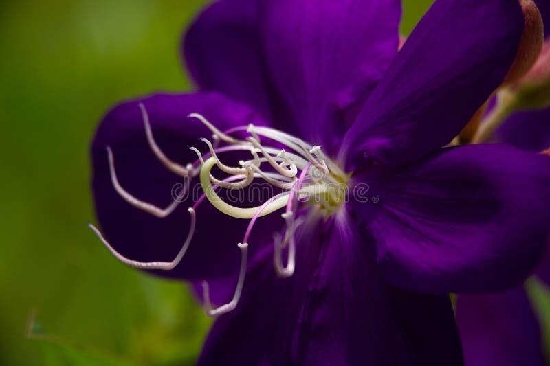 Μακροεντολή του κέντρου ενός λουλουδιού πριγκήπων στοκ εικόνες