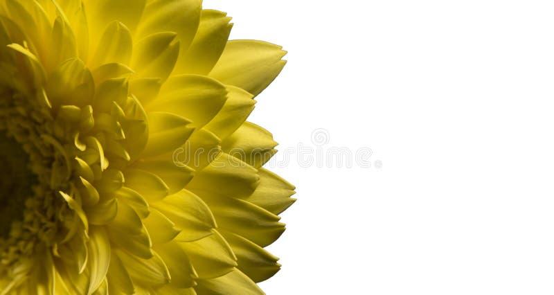 Μακροεντολή του κίτρινου gerbera λουλουδιών που απομονώνεται στο άσπρο, μακρο άνθος στοκ εικόνες