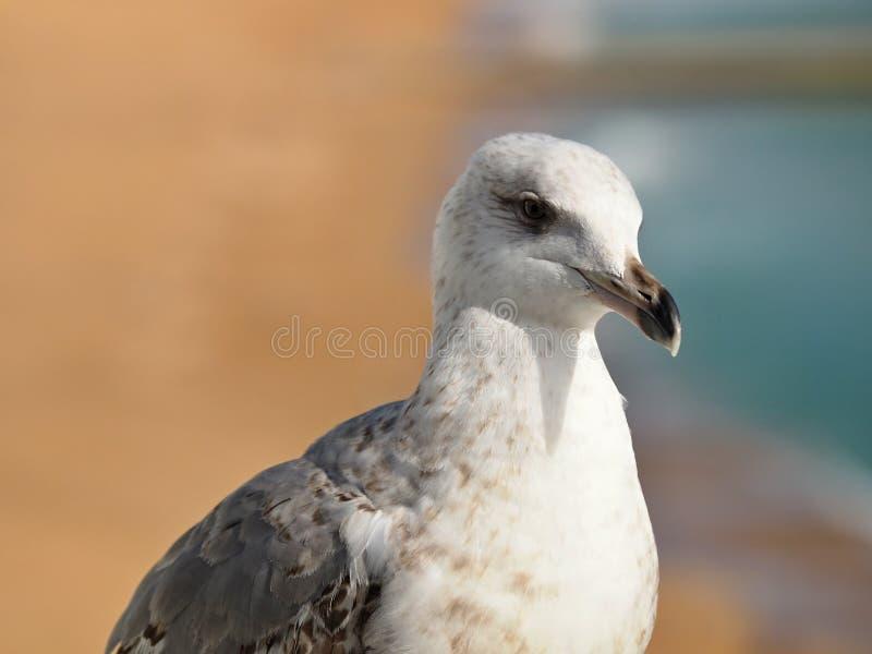 """Μακροεντολή Ï""""Î¿Ï… κεφαλιού seagull στοκ εικόνες με δικαίωμα ελεύθερης χρήσης"""