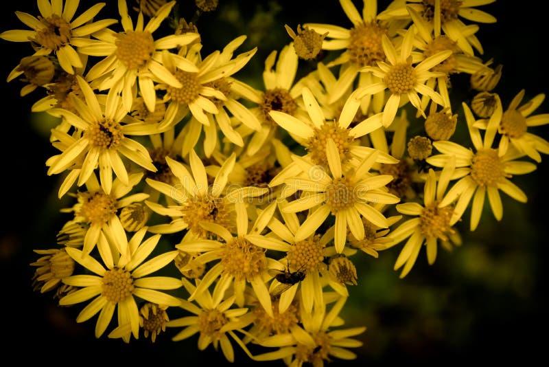 Μακροεντολή των κίτρινων λουλουδιών στοκ εικόνες