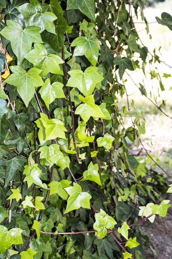 Μακροεντολή των όμορφων, πολύβλαστων πράσινων φύλλων του κοινού κισσού Με μουτζουρωμένο διαστημικό διαθέσιμο υποβάθρου και αντιγρ στοκ φωτογραφία με δικαίωμα ελεύθερης χρήσης
