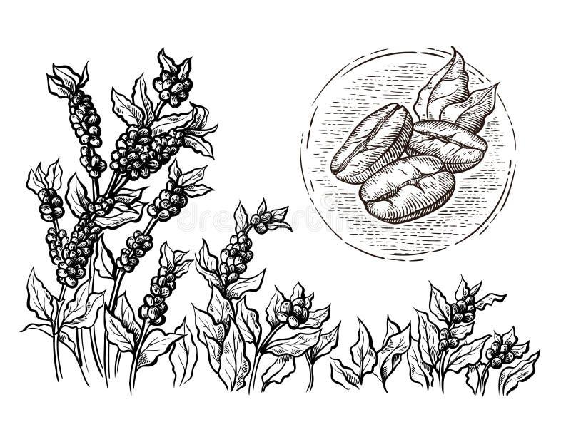 Μακροεντολή φασολιών τοπίων και καφέ φυτειών καφέ στο γραφικό hand-drawn διάνυσμα ύφους διανυσματική απεικόνιση