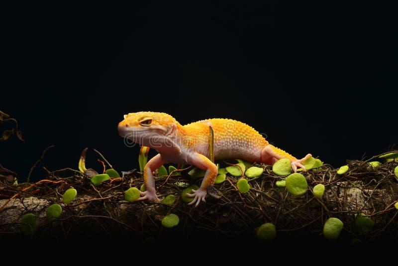 Μακροεντολή φωτογραφία-7 Gecko λεοπαρδάλεων Smiley στοκ εικόνες με δικαίωμα ελεύθερης χρήσης