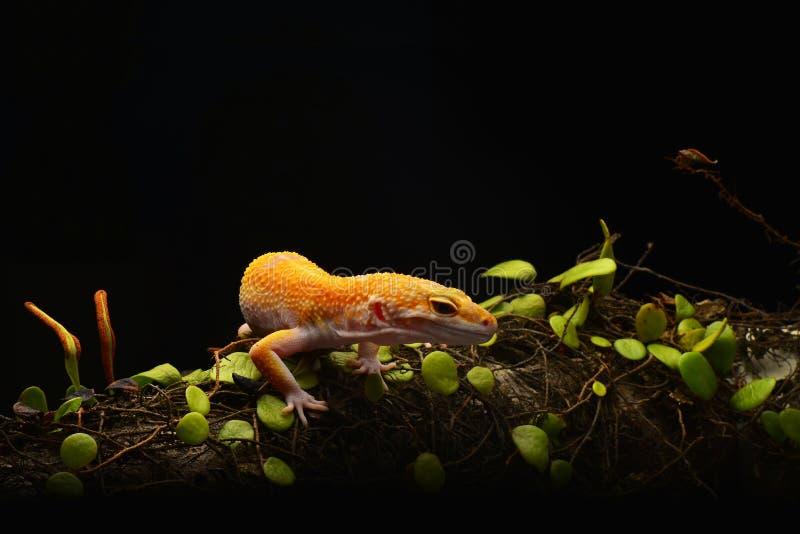 Μακροεντολή φωτογραφία-6 Gecko λεοπαρδάλεων Smiley στοκ εικόνες