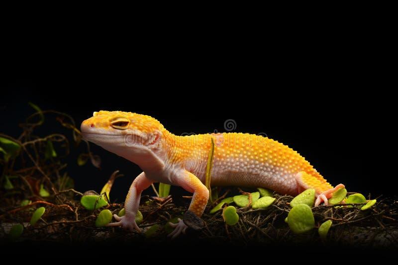 Μακροεντολή φωτογραφία-5 Gecko λεοπαρδάλεων Smiley στοκ φωτογραφία με δικαίωμα ελεύθερης χρήσης