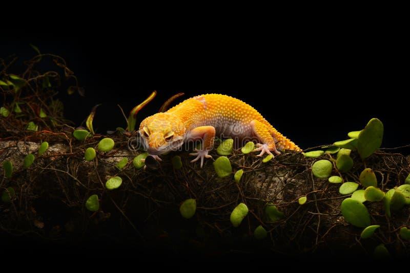 Μακροεντολή φωτογραφία-1 Gecko λεοπαρδάλεων Smiley στοκ φωτογραφία