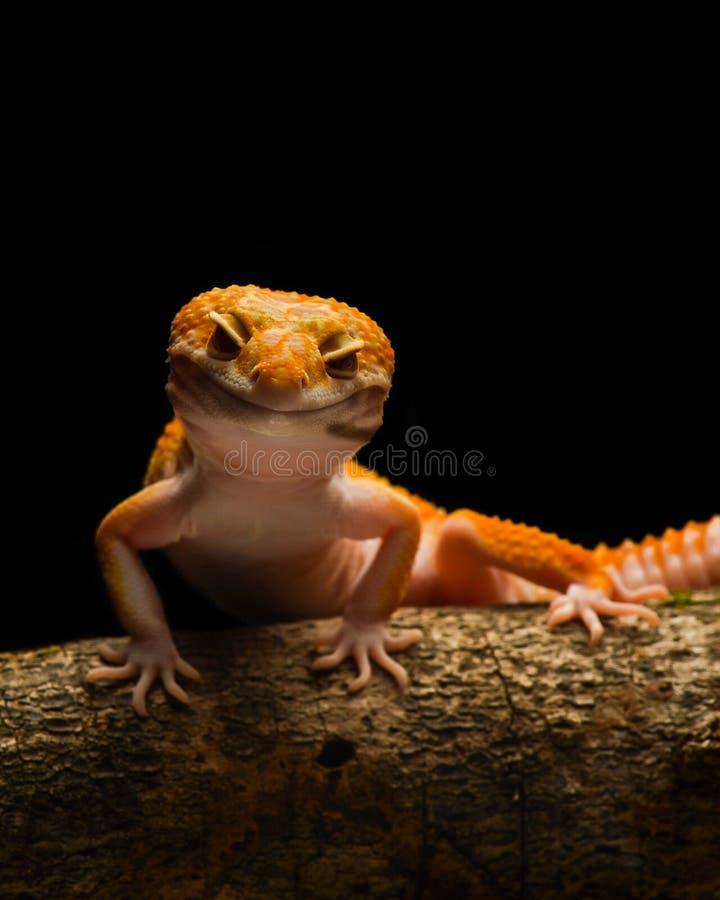 Μακροεντολή φωτογραφία-3 Gecko λεοπαρδάλεων Smiley στοκ φωτογραφία με δικαίωμα ελεύθερης χρήσης