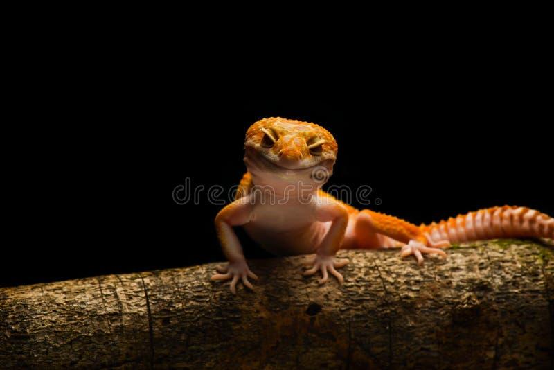 Μακροεντολή φωτογραφία-4 Gecko λεοπαρδάλεων Smiley στοκ εικόνες