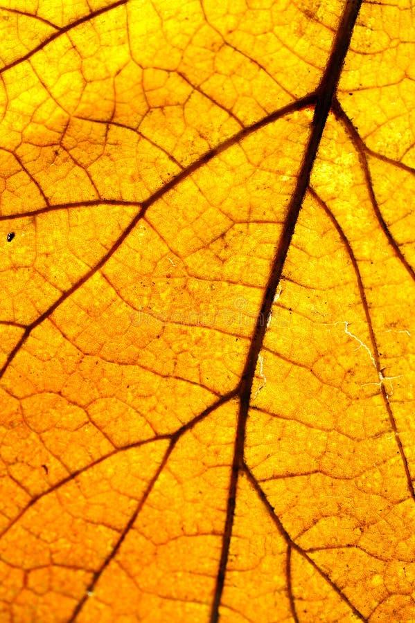 μακροεντολή φύλλων κίτρι&nu στοκ φωτογραφία με δικαίωμα ελεύθερης χρήσης