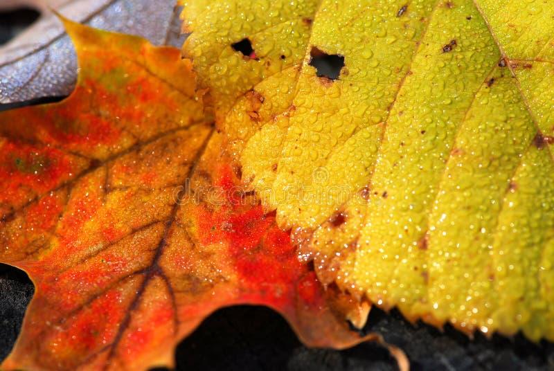 μακροεντολή φύλλων φθιν&omic στοκ εικόνες