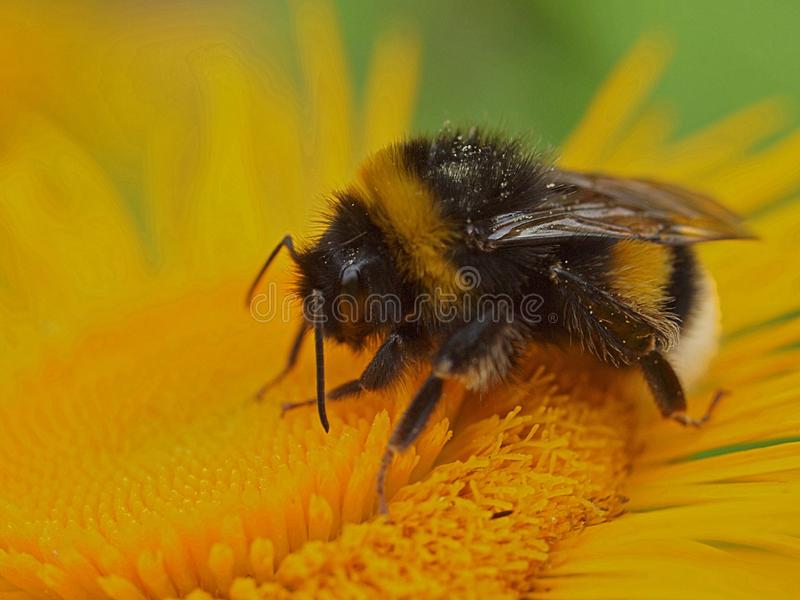 Μακροεντολή bumblebee σε ένα κίτρινο λουλούδι στοκ φωτογραφία με δικαίωμα ελεύθερης χρήσης