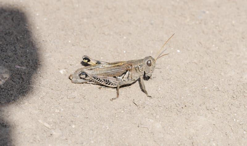 Μακροεντολή differentialis ενός των διαφορικών Grasshopper Melanoplus στοκ φωτογραφίες με δικαίωμα ελεύθερης χρήσης