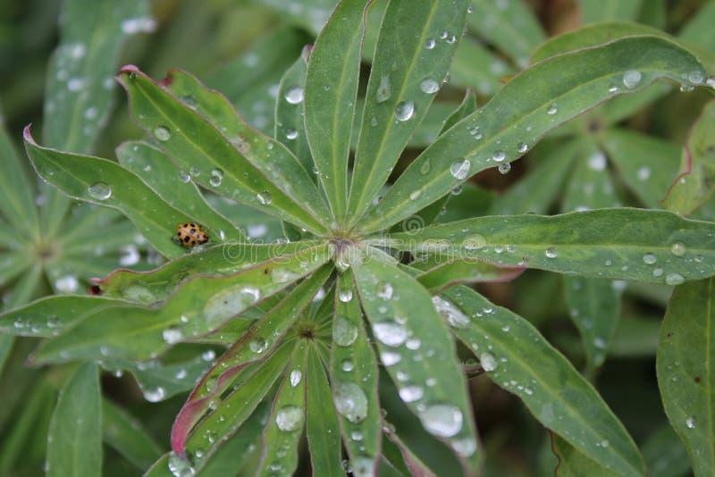 μακροεντολή ladybug στοκ εικόνα με δικαίωμα ελεύθερης χρήσης