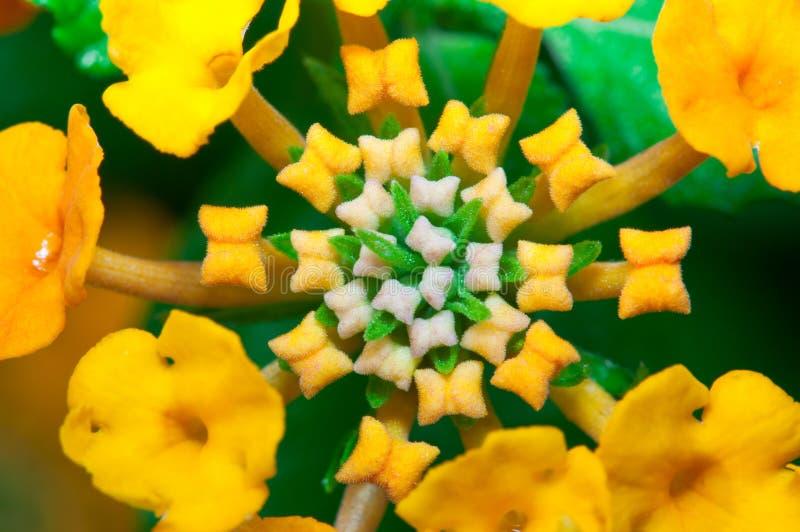 μακροεντολή lantana camara στοκ φωτογραφία