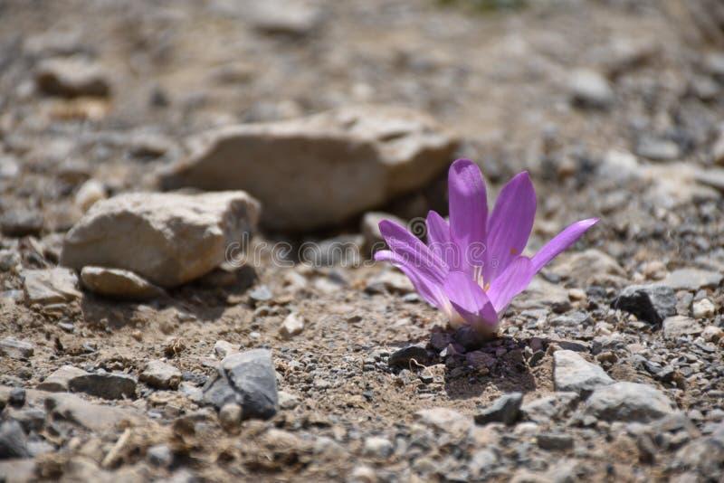 Μακροεντολή ενός ιώδους λουλουδιού κρόκων στο αμμοχάλικο στοκ φωτογραφία