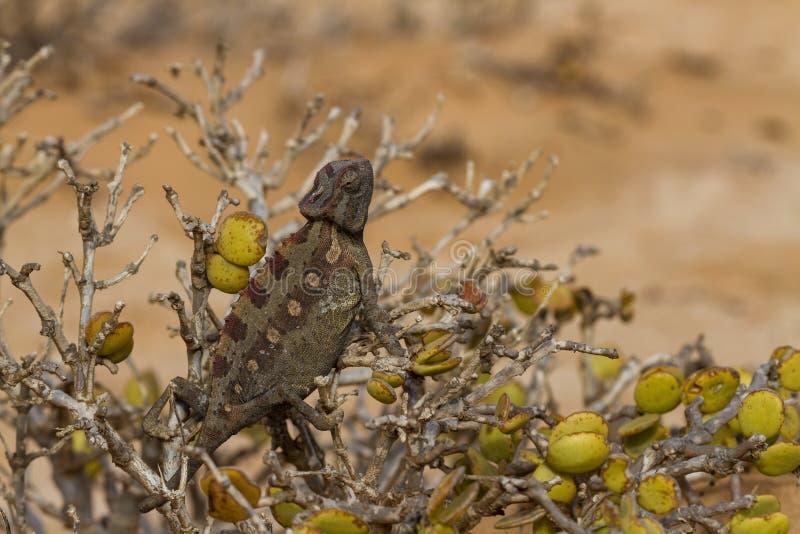 Μακροεντολή ενός χαμαιλέοντα ερήμων στοκ εικόνες