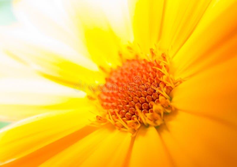 Μακροεντολή μιας κίτρινης μαργαρίτας στοκ εικόνες