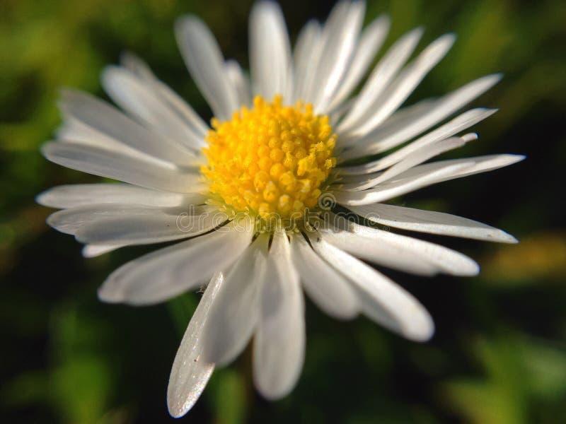 Μακροεντολή της Daisy στοκ εικόνα