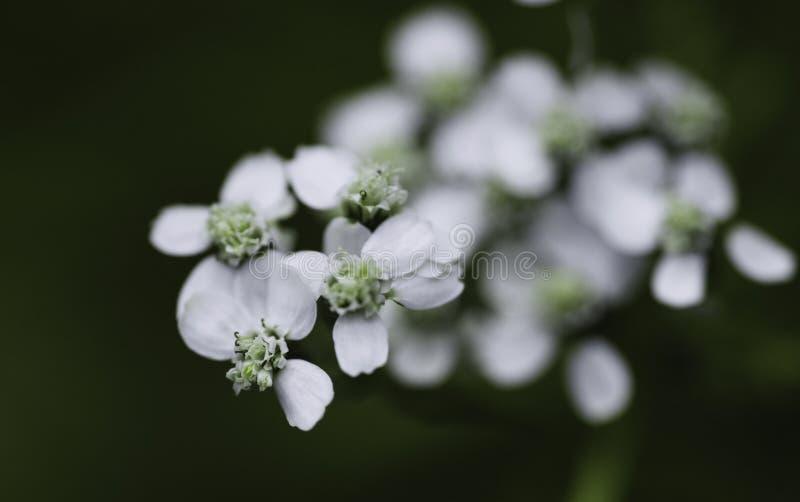 Μακροεντολή του άσπρου λουλουδιού στοκ εικόνα