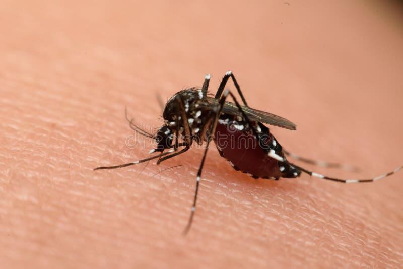 Μακροεντολή του απορροφώντας αίματος κουνουπιών στοκ φωτογραφία