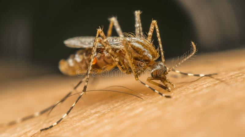 Μακροεντολή του απορροφώντας αίματος κουνουπιών (Aedes aegypti) στοκ φωτογραφία