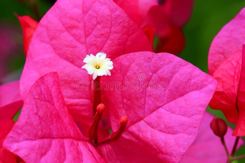 Μακροεντολή bougainvillea ανθίσματος στοκ φωτογραφία με δικαίωμα ελεύθερης χρήσης