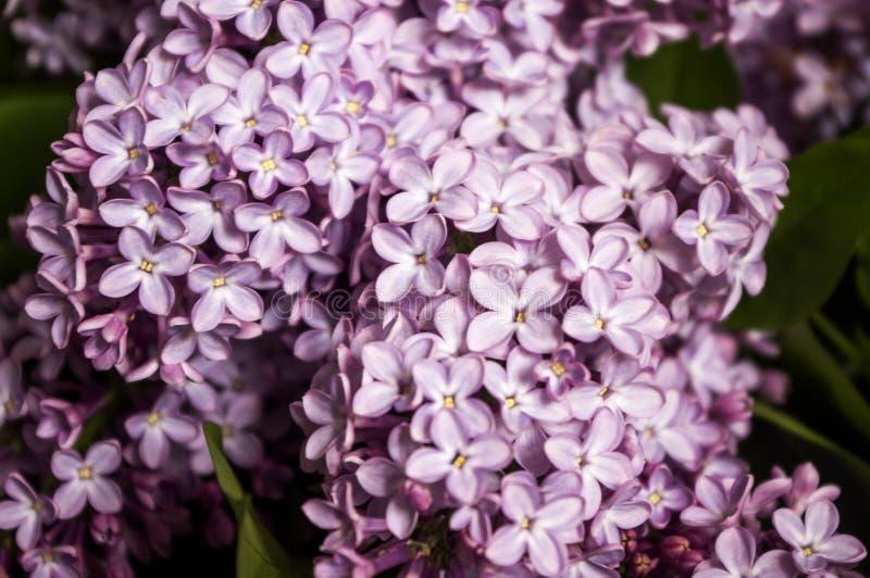 Μακρο άποψη ανθοδεσμών λουλουδιών άνοιξη πορφυρή ιώδης στοκ εικόνα με δικαίωμα ελεύθερης χρήσης