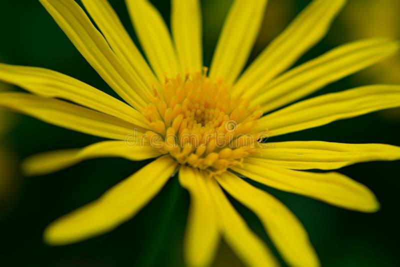 Μακρο άποψη της κίτρινης μαργαρίτας στοκ εικόνα με δικαίωμα ελεύθερης χρήσης