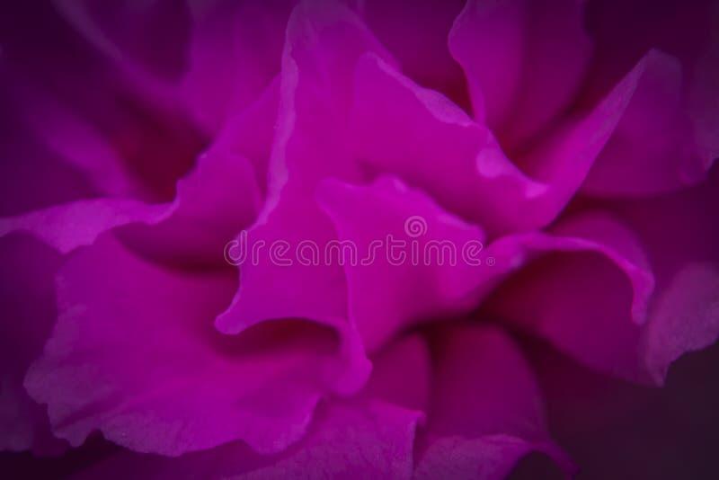 Μακρο γυρισμένη ρόδινη εικόνα κινηματογραφήσεων σε πρώτο πλάνο λουλουδιών στοκ φωτογραφίες