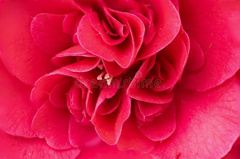 Μακρο διπλό κόκκινο λουλούδι camelia στοκ εικόνες με δικαίωμα ελεύθερης χρήσης