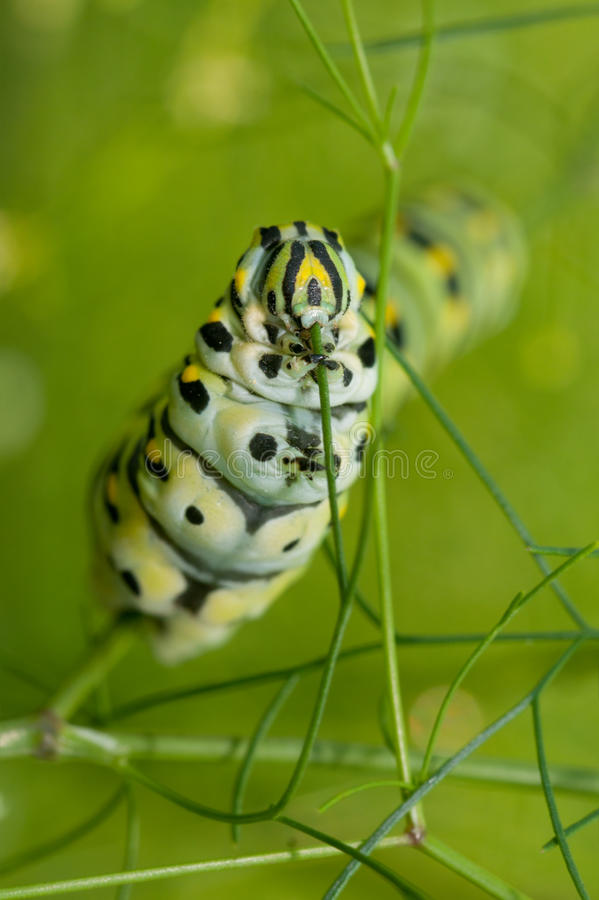 Μακρο εικόνα μιας μαύρης κάμπιας Swallowtail στοκ εικόνες