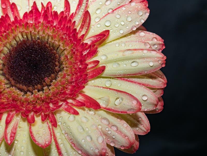 Μακρο εικόνα του πορτοκαλιού λουλουδιού gerbera Εκλεκτική εστίαση στοκ εικόνα με δικαίωμα ελεύθερης χρήσης