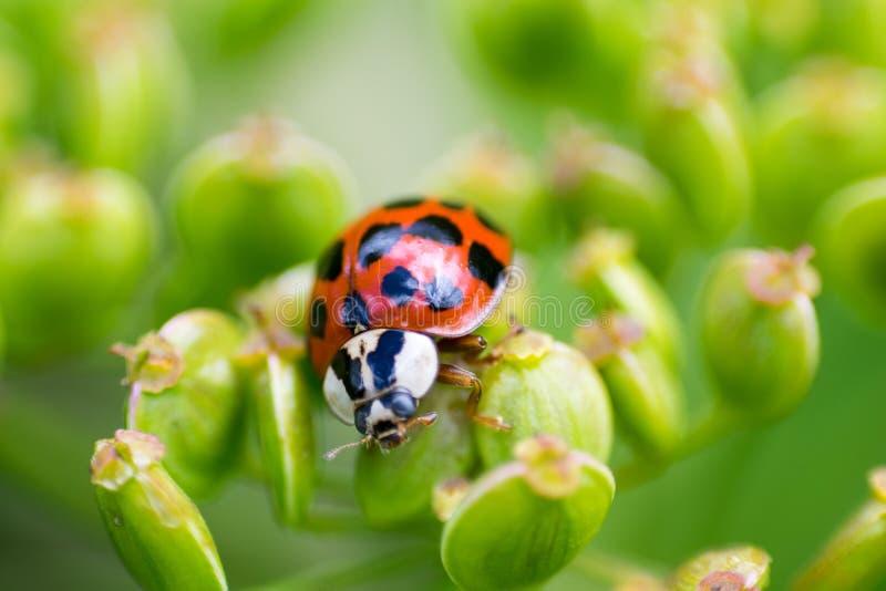 Μακρο εικόνα Ladybug στοκ φωτογραφίες