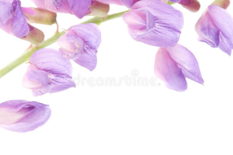 Μακρο ιώδες λουλούδι στοκ φωτογραφίες