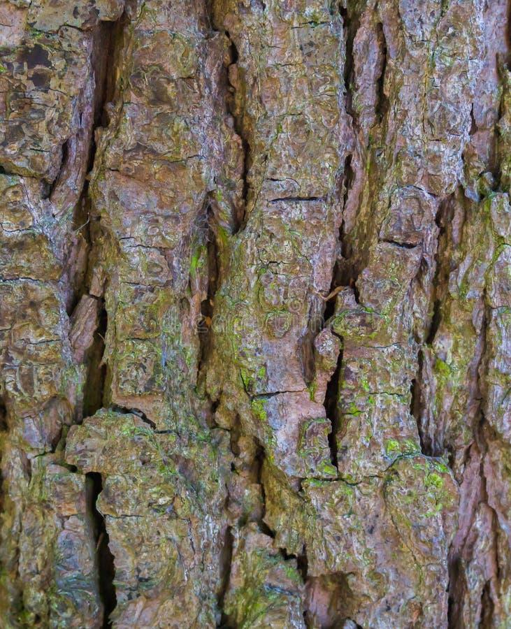 Μακρο κινηματογράφηση σε πρώτο πλάνο ενός κορμού δέντρων με το μεγάλο υπόβαθρο σχεδίων φλοιών φυσικό δασικό στοκ εικόνες