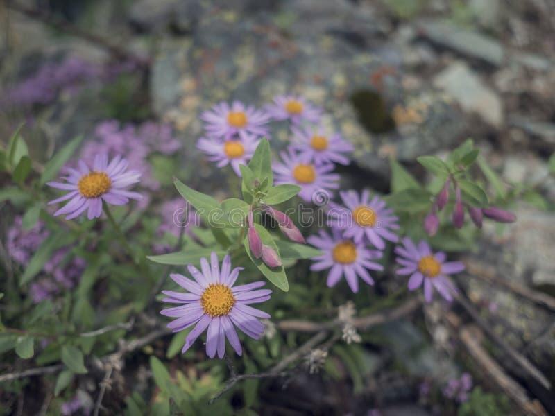 Μακρο κινηματογράφηση σε πρώτο πλάνο του ιώδους πορφυρού λουλουδιού coreopsis, κίτρινα pistils με το υπόβαθρο bokeh στοκ εικόνες