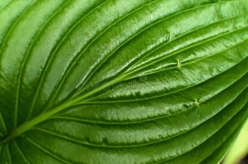 Μακρο κινηματογράφηση σε πρώτο πλάνο του πράσινου φύλλου στοκ φωτογραφία με δικαίωμα ελεύθερης χρήσης