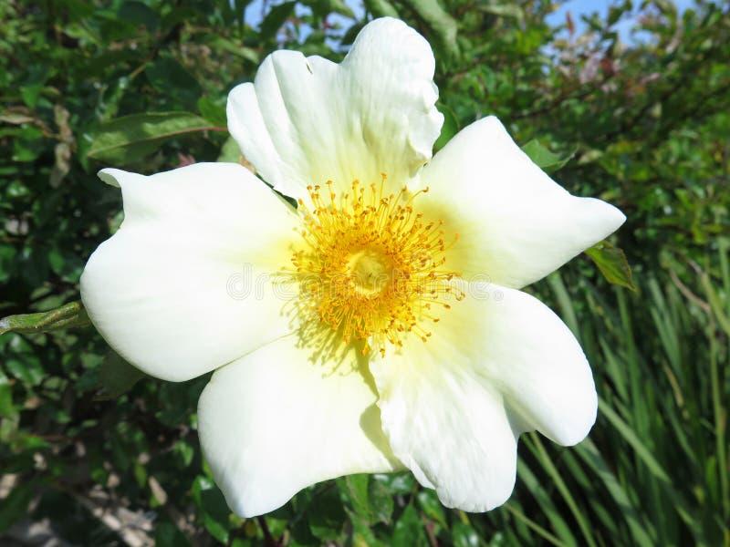 μακρο λευκό λουλουδιών στοκ φωτογραφίες