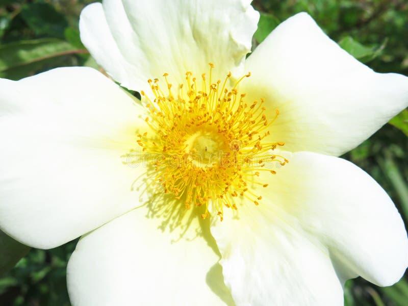 μακρο λευκό λουλουδιών στοκ εικόνα με δικαίωμα ελεύθερης χρήσης