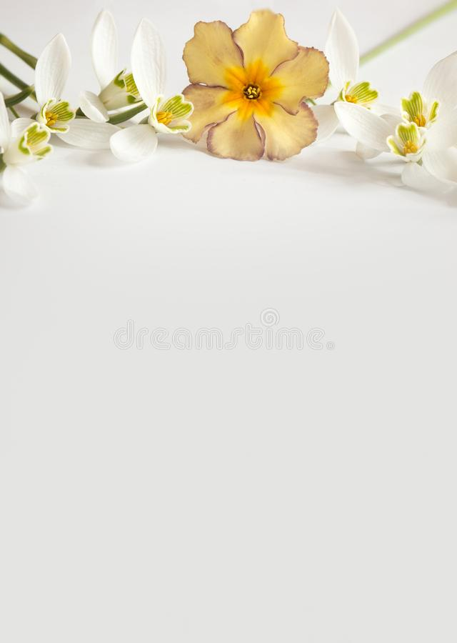Μακρο λουλούδι ανοίξεων - snowdrops Gallanthus και primroses που απομονώνονται στο άσπρο υπόβαθρο στοκ φωτογραφίες