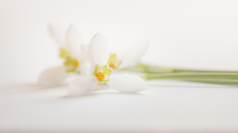 Μακρο λουλούδι ανοίξεων - snowdrops Gallanthus που απομονώνεται στο άσπρο υπόβαθρο στοκ φωτογραφίες