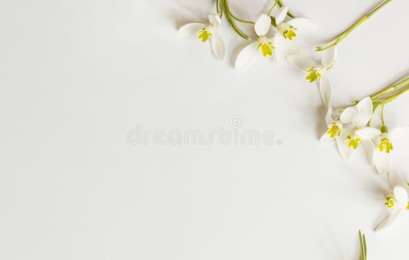 Μακρο λουλούδι ανοίξεων - snowdrops Gallanthus στο άσπρο υπόβαθρο στοκ φωτογραφίες με δικαίωμα ελεύθερης χρήσης