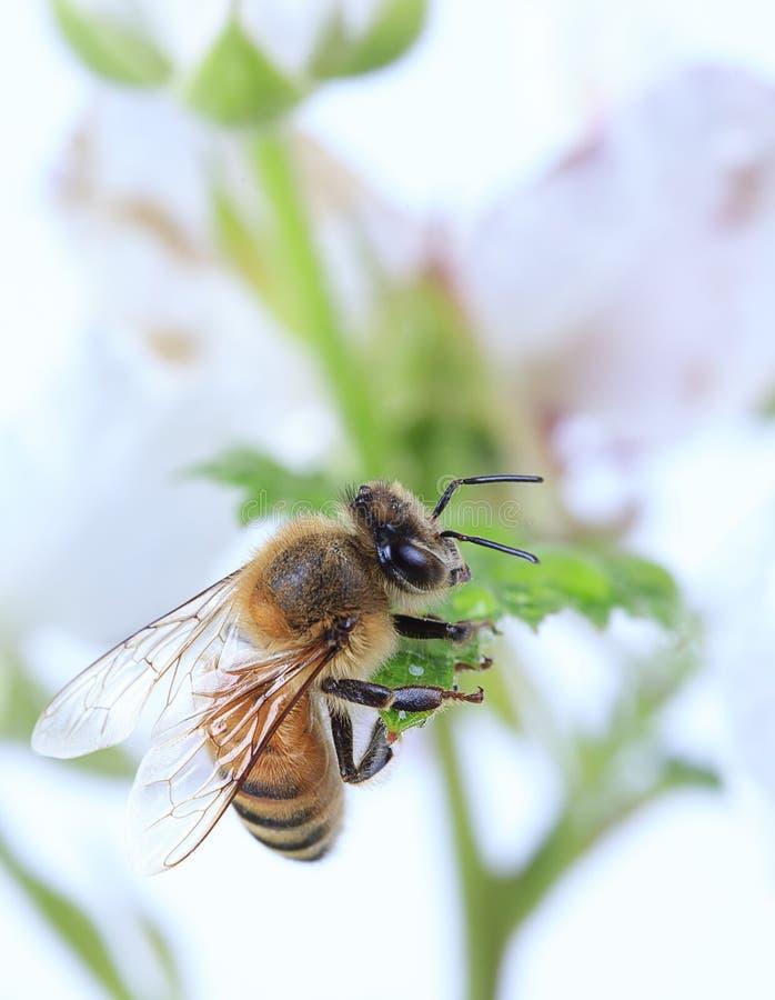 Μακρο μέλισσα μελιού στοκ φωτογραφίες