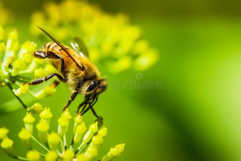 Μακρο μέλισσα στο λουλούδι μαράθου στοκ φωτογραφία με δικαίωμα ελεύθερης χρήσης