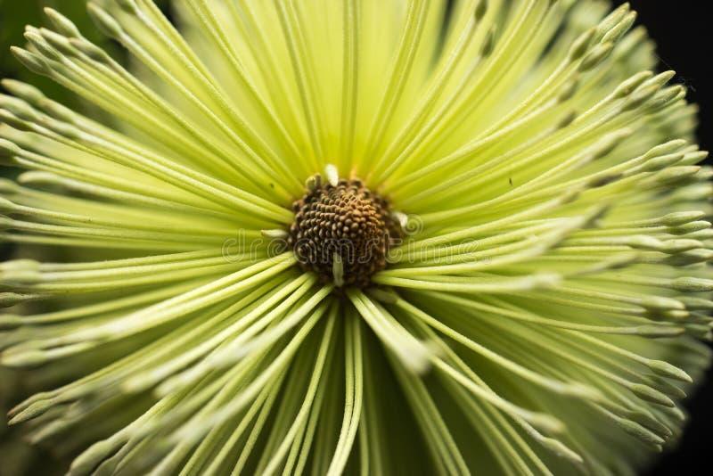 Μακρο μαύρο υπόβαθρο λουλουδιών Banksia στοκ εικόνα με δικαίωμα ελεύθερης χρήσης