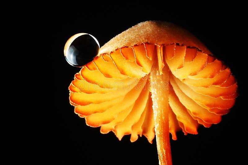 Μακρο μαύρο υπόβαθρο πτώσης νερού μανιταριών φωτογραφίας πορτοκαλί στοκ φωτογραφία