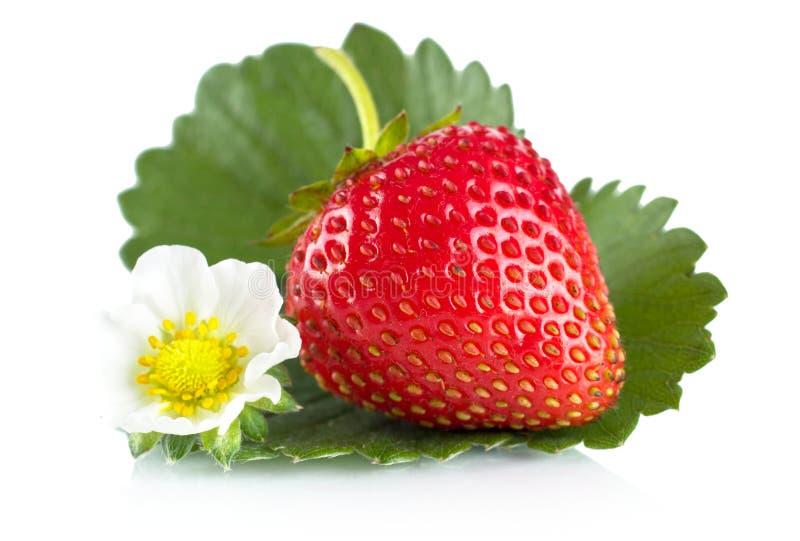 Μακρο ολόκληρες φράουλες το φύλλο και το λουλούδι που απομονώνονται με στο λευκό στοκ εικόνες
